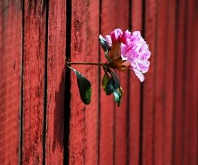 květina, проросший přes mezeru v plotě
