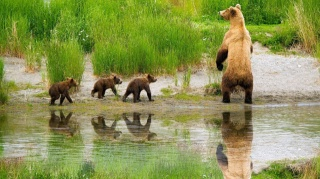 Медведица, с медвежатами