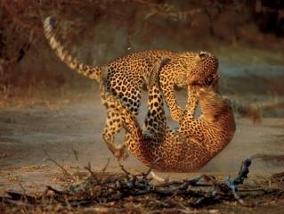 leopardi, boj