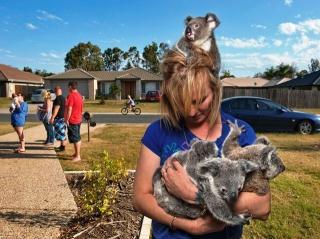 orphaned koalas, foster mom, Australia