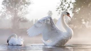 Labuť, narovnal, velké, bílé, křídla, půvab, krásná, pták