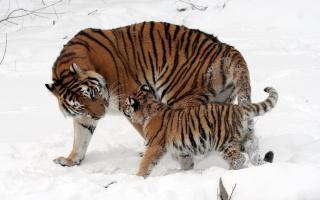 Tiger, strom, les, divoký, sníh