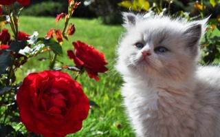 bílé kotě, šarlatové růže