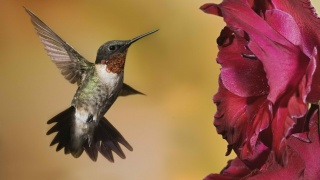 колибри, самая маленькая птичка в мире, цветок, питающаяся нектаром