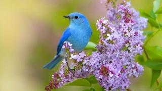 pták, jaro, květiny, lilac