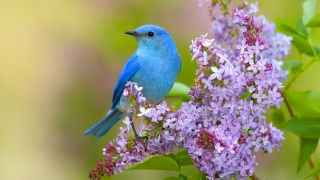 bird, spring, flowers, lilac