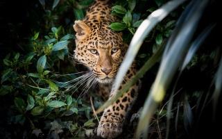 Леопард в зарослях, хищьник