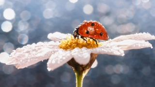 ladybug, flower, Rosa, blue-grey background