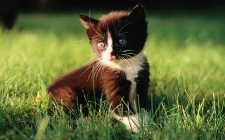 kitten, in the grass