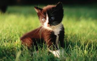 котенок, в траве