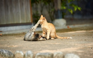 cats, game, predators, youngsters, macro, photo, theme