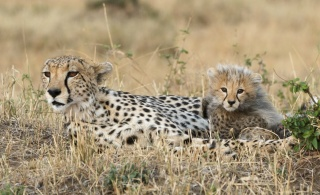cheetahs, mom and kitten