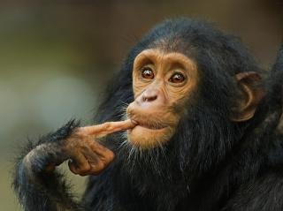 животные, шимпанзе, обезьяний мыслитель