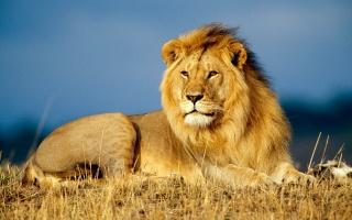 příroda, savannah, lev, makro, foto, dravec, král