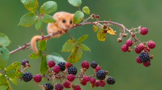 hamster on a branch, leaves, berries, Oh, how much, and just can't eat cheeks will not throw you...
