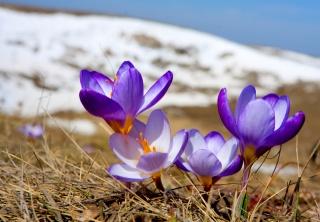 příroda, makro, foto, hory, sníh, květiny, krokusy, krásně