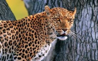 леопард, дерево