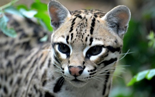 Spotted ocelot, cat
