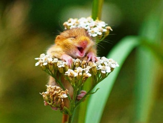 vole, on the flower