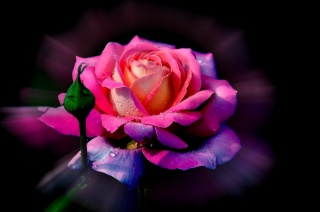 květina, růže, okvětní lístky, bud, kapky, rosa
