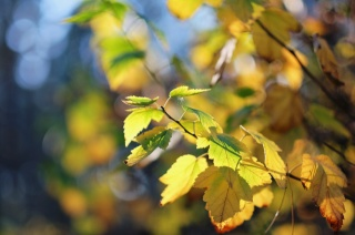macro, bokeh, the sun, light, bright, branch, autumn, yellow