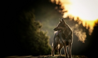 autumn, nature, macro, photo, dog, German shepherd, forest