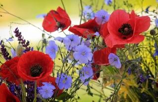 květiny, maki, len