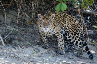 леопард, хищник, красота, взгляд