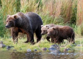 Ведмедиця, ведмежата, рибалка, краса