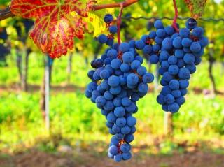 виноградник, червоний аркуш, виноградні грона, осінь