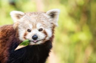 красная панда, светло-зеленый фон, кремовые и коричневые вставки