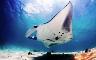 nature, photo, under water, marine manta, sea devil, reaches 7 m, the mass of large specimens up to 2, 5 tons, Aucun, beautiful, flight