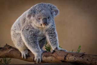 Koala, beauty