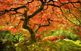 картинка№2, японський клен, після настання осені