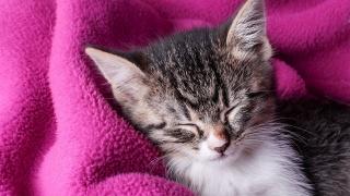 sleeping kitten, pink blanket, sweet dreams