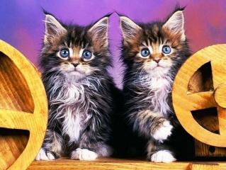 kittens, fluffy, blue eyes, funny