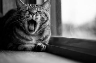 кіт, вікно, чорно біле, краса