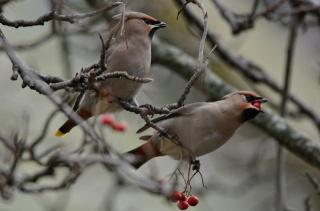 птиця, краса, птахи світу, Свиристель, Горобина