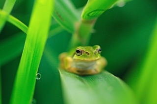 лягушка, зелень, красота