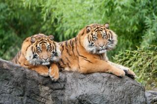 тигры, макро, фото, ПАРА, камень, красиво, хищники, кошки