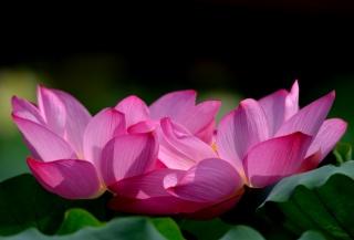 flowers, petals, pink, Lotus