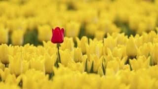 flowers, tulips, red among yellow