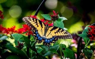 butterfly, Sailboat Glaucus, flowers, macro