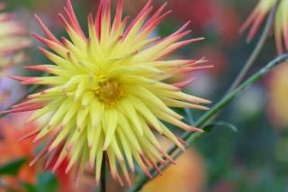 macro, Dahlia, bright, yellow, blur