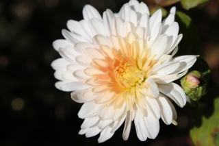 chrysanthemum, autumn, beautiful, flowers, autumn flowers