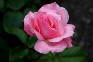 rose, Pink, leaves, glare, blur