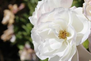 rose, beautiful, autumn rose