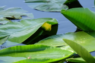 water Lily, water, bright leaves, the movement towards the light