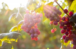 grapes, nature, Lydia, light, the sun, macro, photo, theme