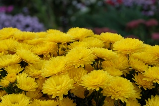 макро, цветы, много, ярко, желтый, размытость